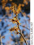Цветущая по весне ветка гамамелиса. Стоковое фото, фотограф Наташа Антонова / Фотобанк Лори
