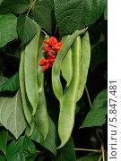 Купить «зеленая фасоль и красный цветок», фото № 5847481, снято 29 июля 2011 г. (c) Food And Drink Photos / Фотобанк Лори