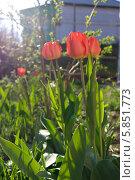 Три тюльпана. Стоковое фото, фотограф Зацепина Галина / Фотобанк Лори