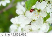 Купить «Божья коровка на цветущем сливовом дереве», фото № 5858665, снято 14 мая 2013 г. (c) Alexandra Ustinskaya / Фотобанк Лори