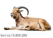 Купить «Гривистый баран на белом фоне», фото № 5859289, снято 6 апреля 2013 г. (c) Яков Филимонов / Фотобанк Лори