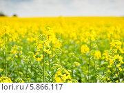 Купить «Желтое поле рапса», фото № 5866117, снято 27 апреля 2014 г. (c) Екатерина Овсянникова / Фотобанк Лори