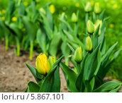 Купить «Клумба с жёлтыми тюльпанами», эксклюзивное фото № 5867101, снято 1 мая 2014 г. (c) Игорь Низов / Фотобанк Лори