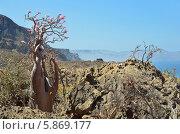 Бутылочное дерево среди камней на острове Сокотра в Йемене (2014 год). Стоковое фото, фотограф Овчинникова Ирина / Фотобанк Лори