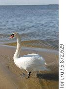 Лебедь-шипун на берегу Куршского залива (2014 год). Редакционное фото, фотограф Наташа Антонова / Фотобанк Лори