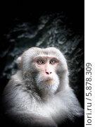 Портрет обезьяны с серьезным лицом. Стоковое фото, фотограф Константин Ёлшин / Фотобанк Лори