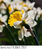Купить «Клумба с нарциссами», эксклюзивное фото № 5881757, снято 1 мая 2014 г. (c) Игорь Низов / Фотобанк Лори