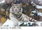 Белый тигр. Стоковое фото, фотограф Дмитрий Сушкин / Фотобанк Лори