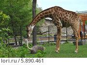 Купить «Жираф и страус в московском зоопарке», эксклюзивное фото № 5890461, снято 8 мая 2014 г. (c) lana1501 / Фотобанк Лори
