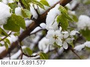 Купить «Резкое похолодание весной. Цветы яблони в снегу», фото № 5891577, снято 7 мая 2014 г. (c) Виктория Катьянова / Фотобанк Лори