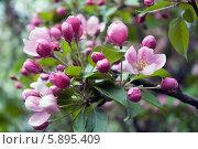 Яблоня в цвету. Стоковое фото, фотограф Ладнев Владимир Евгеньевич / Фотобанк Лори
