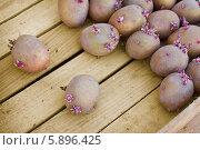 Купить «Картофель перед посадкой», фото № 5896425, снято 9 мая 2014 г. (c) Александр Романов / Фотобанк Лори