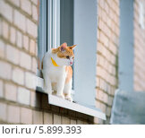 Рыжая кошка с ошейником на подоконнике. Стоковое фото, фотограф Alexander Mirt / Фотобанк Лори