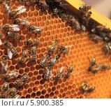 Купить «Пчела на соте рамки с обножкой на лапках», фото № 5900385, снято 19 апреля 2014 г. (c) Денис Кошель / Фотобанк Лори