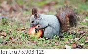 Купить «Белка кушает яблоко», видеоролик № 5903129, снято 20 октября 2013 г. (c) Андрей Павлов / Фотобанк Лори