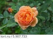 Купить «Английская кустовая роза David Austin», фото № 5907733, снято 11 июня 2013 г. (c) Ольга Сейфутдинова / Фотобанк Лори