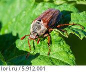 Купить «Майский жук крупным планом сидит на зелёном листе», эксклюзивное фото № 5912001, снято 14 мая 2014 г. (c) Игорь Низов / Фотобанк Лори
