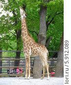 Купить «Африканский жираф в Московском зоопарке», эксклюзивное фото № 5912089, снято 8 мая 2014 г. (c) lana1501 / Фотобанк Лори