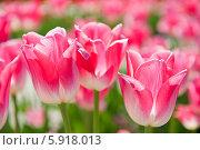 Купить «Розовые тюльпаны крупным планом в весенний день», фото № 5918013, снято 18 мая 2014 г. (c) Екатерина Овсянникова / Фотобанк Лори