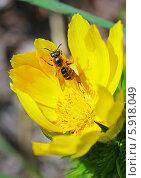 Адонис (Adonis) — род растений семейства Лютиковые (Ranunculaceae). Цветок с пчелой. Стоковое фото, фотограф Евгений Мухортов / Фотобанк Лори
