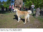 Выставка охотничьих собак 2014. Редакционное фото, фотограф Геннадий Балаев / Фотобанк Лори