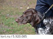 Выставка охотничьих собак 2014. Курцхаар или немецкий пойнтер. Стоковое фото, фотограф Геннадий Балаев / Фотобанк Лори