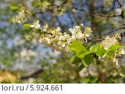 Ветка яблони весной. Стоковое фото, фотограф Владимир Котенков / Фотобанк Лори