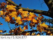 Жёлтые кленовые листья на ветке. Стоковое фото, фотограф Владимир Котенков / Фотобанк Лори