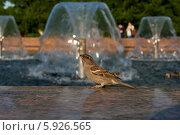 Воробей у фонтана. Стоковое фото, фотограф Зауро Владимир / Фотобанк Лори