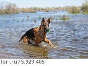 Купить «Мокрая Овчарка играет с мячом в воде», фото № 5929405, снято 21 мая 2014 г. (c) Андрей Воробьев / Фотобанк Лори