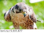 Купить «Сокол», фото № 5931877, снято 19 апреля 2014 г. (c) Татьяна Кахилл / Фотобанк Лори