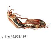 Спаривание майских жуков. Стоковое фото, фотограф Федорец Артем / Фотобанк Лори