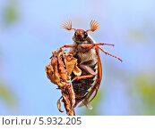 Майский жук на ветке. Стоковое фото, фотограф Федорец Артем / Фотобанк Лори