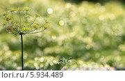 Купить «Растущий укроп», видеоролик № 5934489, снято 24 мая 2014 г. (c) Виталий Зверев / Фотобанк Лори