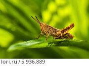 Купить «Крупный коричневый короткоусый кузнечик сидит на траве», эксклюзивное фото № 5936889, снято 23 мая 2014 г. (c) Игорь Низов / Фотобанк Лори
