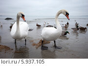 Купить «Пара белых лебедей», фото № 5937105, снято 6 января 2014 г. (c) Литвяк Игорь / Фотобанк Лори