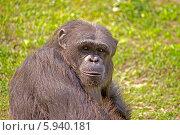 Купить «Портрет шимпанзе, зоопарк Алипор в Калькутте», фото № 5940181, снято 10 февраля 2014 г. (c) Вячеслав Беляев / Фотобанк Лори