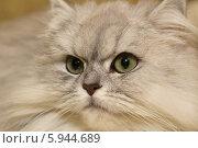 Купить «Взгляд кошки», фото № 5944689, снято 15 февраля 2014 г. (c) Федюнин Александр / Фотобанк Лори