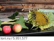 Созревший подсолнух и два спелых яблока на столе. Стоковое фото, фотограф Анна Баранова / Фотобанк Лори
