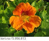 Купить «Настурция оранжевая - Tropaeolum», фото № 5956813, снято 20 июля 2011 г. (c) Беляева Наталья / Фотобанк Лори