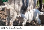 Молодой козленок сосет молоко. Стоковое фото, фотограф Вячеслав Зеленин / Фотобанк Лори