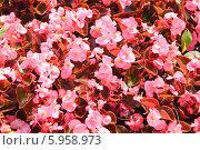 Купить «Бегония вечноцветущая (Begonia semperflorens)», эксклюзивное фото № 5958973, снято 19 августа 2011 г. (c) Алёшина Оксана / Фотобанк Лори