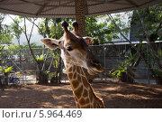 Жираф на крокодиловой ферме в Тайланде. Стоковое фото, фотограф Александр Первунин / Фотобанк Лори