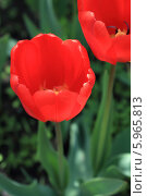 Красные тюльпаны. Стоковое фото, фотограф Юлия Мельникова / Фотобанк Лори