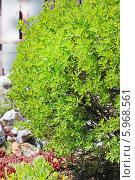 Купить «Пятилистник кустарниковый, Курильский чай кустарниковый, или Лапчатка кустарниковая (Pentaphylloides fruticosa) — прямостоящий сильноветвистый кустарник из семейства Rosaceae», эксклюзивное фото № 5968561, снято 30 мая 2014 г. (c) Евгений Мухортов / Фотобанк Лори