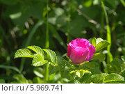 Розовый бутон цветущего шиповника. Стоковое фото, фотограф Вячеслав Сапрыкин / Фотобанк Лори