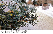 Ветки ели покрытые льдом. Стоковое фото, фотограф Александр Коноваленко / Фотобанк Лори