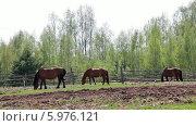 Купить «Стадо лошадей пасется на лугу весной», видеоролик № 5976121, снято 4 июня 2014 г. (c) Кекяляйнен Андрей / Фотобанк Лори