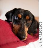 Купить «Портрет собаки. Такса мраморного окраса с разного цвета глазами лежит на кровати.», фото № 5976973, снято 5 марта 2014 г. (c) Karjala / Фотобанк Лори