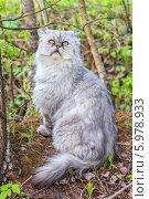 Купить «Персидский кот окраса шиншилловый в весеннем лесу», фото № 5978933, снято 7 мая 2014 г. (c) Ольга Сейфутдинова / Фотобанк Лори